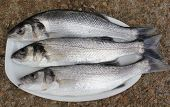 pic of fighter-fish  - freshly rod caught sea bass - JPG