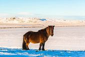 Icelandic Horse Walks In The Snow In Winter. Icelandic Winter Landscape poster