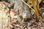 Big Lizard At Roatan Honduras. Wild Animal In Natural Environment. Save Biodiversity Concept. Lazy L poster
