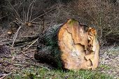 A Large Spruce Tree Trunk Lying In The Forest. Felling Of Trees In The Iglassym Forest. poster