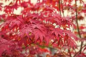 Autumn Color. Red Autumn Leaves. Tree Leaves Change Color In Autumn. Autumn Nature Beauty. Natural B poster