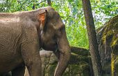 The Face Of A Asian Elephant In Closeup, Endangered Animal Specie From Asia poster