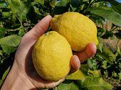 Human Hand Hols Italian Lemons, Homemade Genuine Fruit Collect, Winter Product poster