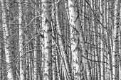 Birch Grove On A Spring Day, Landscape Banner, Huge Panorama, Black-and-white poster