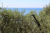 View of the olive grove on the shore of lake Garda in Italy poster