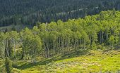 Sun Hitting A Grove Of Aspen In Great Basin National Park In Nevada poster