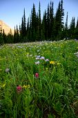 Thick Grasses And Wild Flowers In Meadow In Montana Wilderness poster