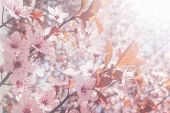 Spring Cherry Blossoms Background, Blossoming Cherry Close Up poster