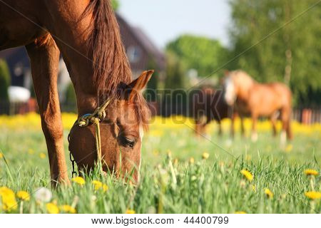 Chestnut Horse Eating Grass At The Field