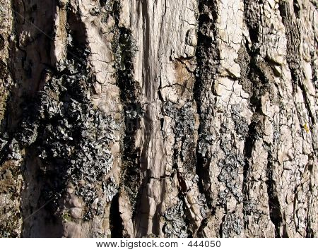 The Bark Of Tree