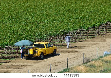 Farm Workers Tend Vineyard