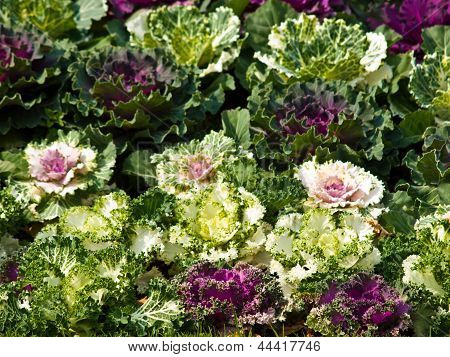 Colorful Flowering Cabbage In Nature