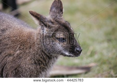 Wallaby Head Shot