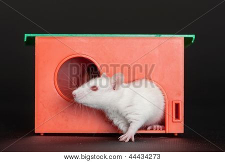 White Rat In A Red House
