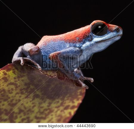 Poison dart frog, Oophaga pumilio from the little island Escudo in the Bocas Del Toro achipelago, Panama. Beautiful small amphibian with bright red and blue This the smallest morph of strawberry frog.