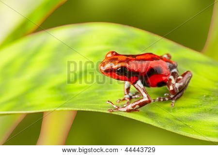 red poison arrow frog on leaf. Oophaga pumilio, an amphibian of the tropical rainforest in Panama. A beautiful poisonous animal. Rio Branco morph, a beautiful rain forest animal.