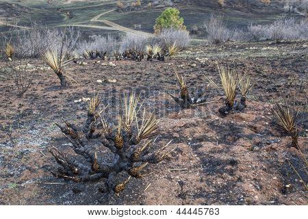 burnt yucca and bushes after Galena wildfire in Lory State Park near Fort COllins, Colorado, green grass starting to regrow, April 2013