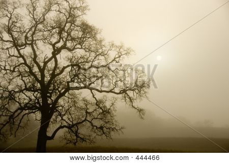 Fog, Oak, And The Sun