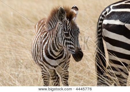 Baby Zebra In Maasai Mara