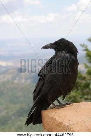 Closeup of a Common Raven (Corvus corax)