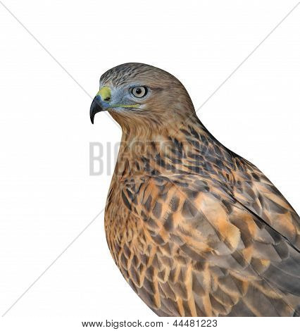 Portrait Of The Vulturine Bird Isolated On White Background