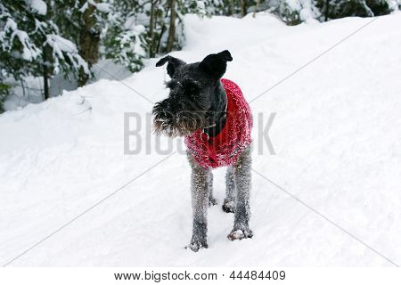 Dog With Sweater Playing In The Snow