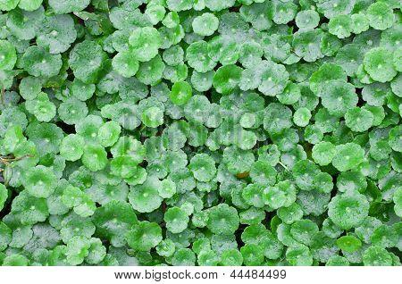 Little Water Lettuce