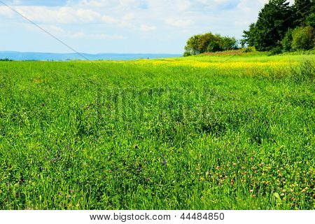 Alfalfa Field In Bloom