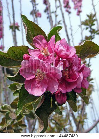 flower to aple trees