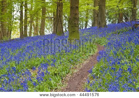Magical Forest And Wild Bluebell Flowers