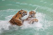 Picture Of Two Beautiful Tigers Fighting In The Water