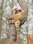stock photo of coatimundi  - Coatimundi scratching himself in a tree  - JPG