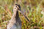 picture of snipe  - African snipe in wetland looking for food green grass water - JPG