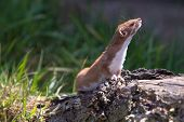 picture of ermine  - Weasel  - JPG