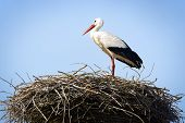 foto of stork  - Stork standing in its nest in warm weather - JPG