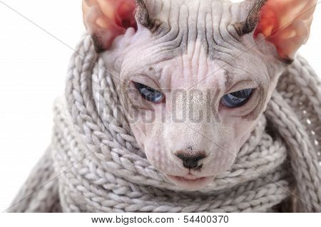 Serious Canadian Sphynx cat with winter knitted scarf