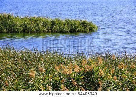 Bulrush And Lake In Summer