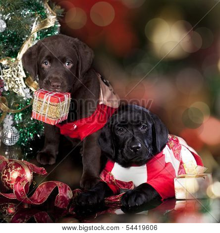 labrador retriever and   christmas  present