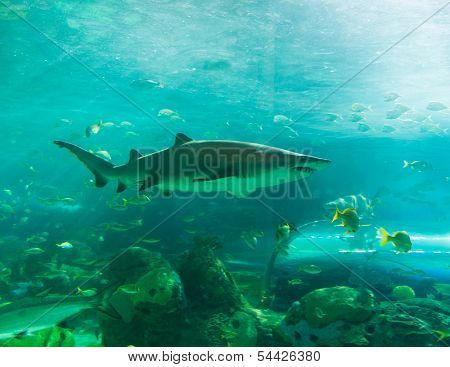 Shark Or Sharks Swimming