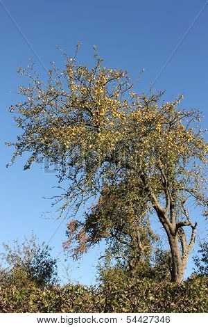 Twisted old apple tree heavy with golden apples