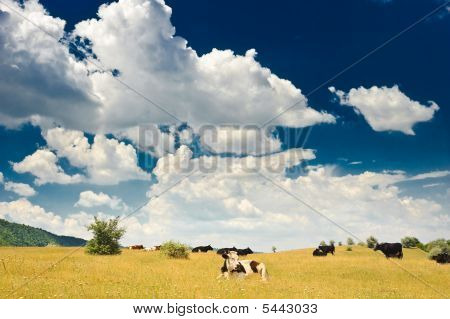 Cows At Meadow