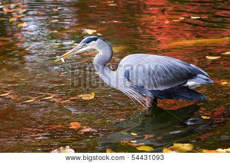 Great Blue Heron Enjoying A Fish Meal