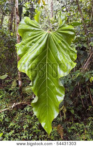 A very large heart shaped Philodendron leaf