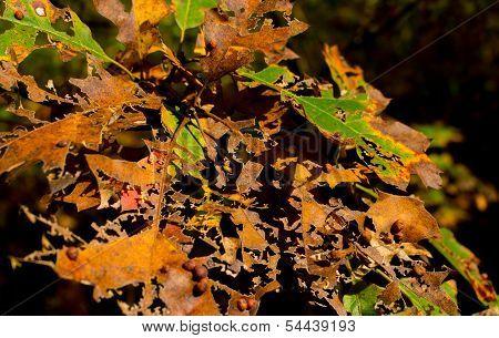 Brittle and broken leaf