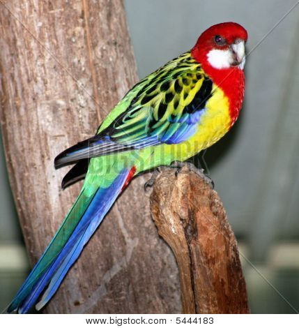 Colorful Rosella