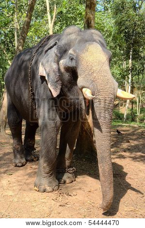 Indian Elephant also called Asian Elephant - Elephas Maximus