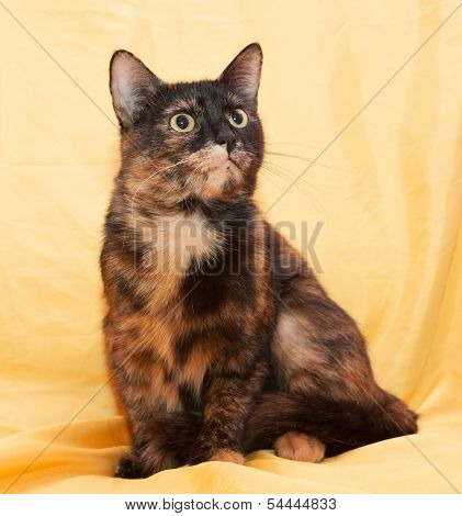 Three-colored Cat Sits And Looks Warily