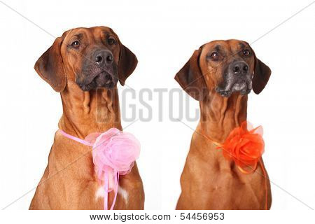 Rhodesian Ridgeback portrait on a white background (focus on first dog)