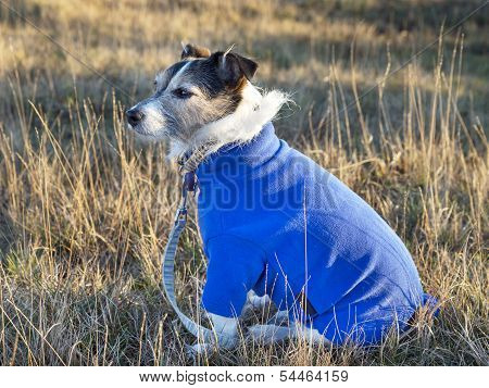 Dog Wearing Jumper
