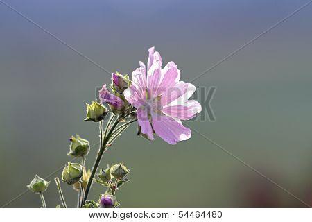 Malva Sylvestris In Bloom
